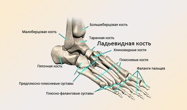 Строение Пяточной Кости (Ладьевидная кость) на схеме