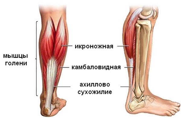 Расположение ахиллова сухожилия